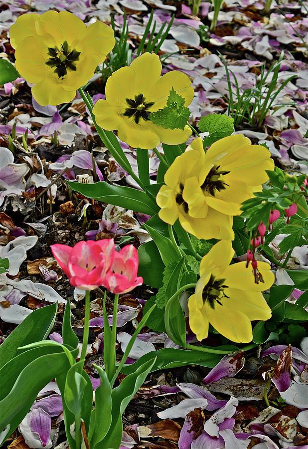 2018 Vernon Tulips 2 by Janis Nussbaum Senungetuk