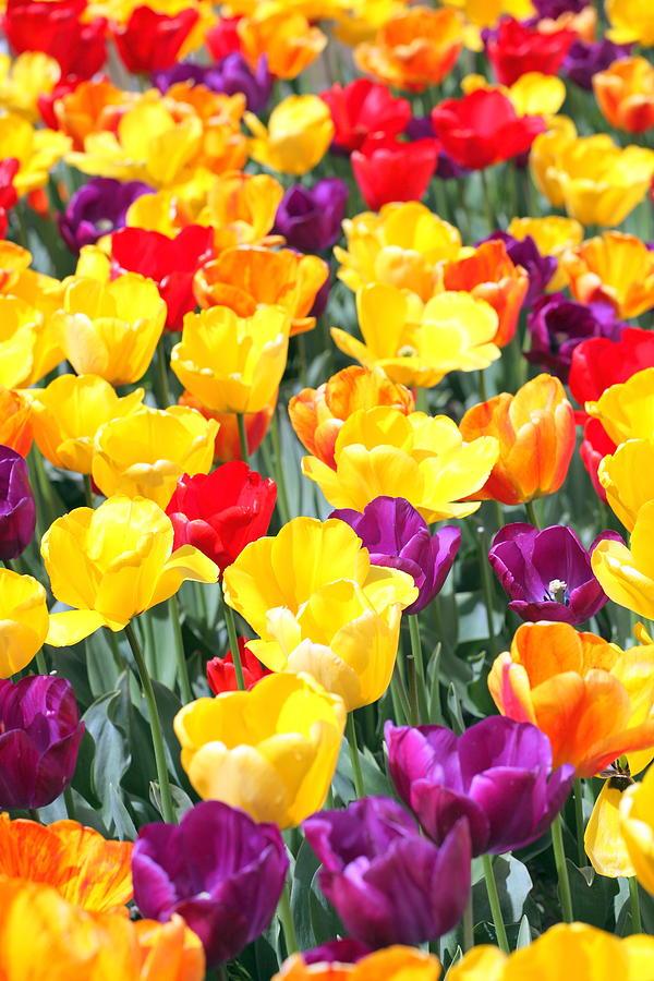 Amsterdam Photograph - Amsterdam Tulips. by Oscar Williams