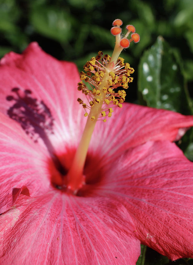 Hibiscus by Michele Caporaso