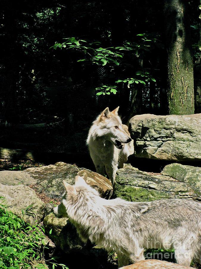 Wild Wolf Photograph - The Wild Wolve Group A by Debra     Vatalaro