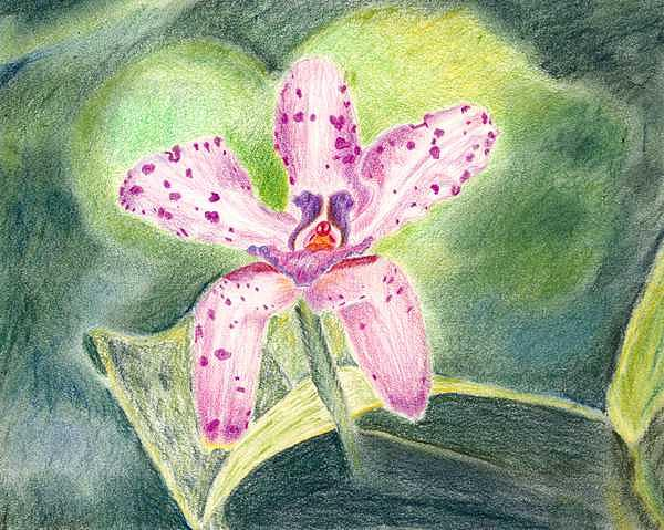 Orchid Drawing - Pink Spotted Orchid-drawing by Deborah  DeAmroim
