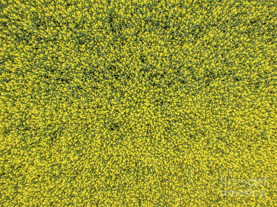Aerial view of rapeseed field by Nikolay Stoimenov