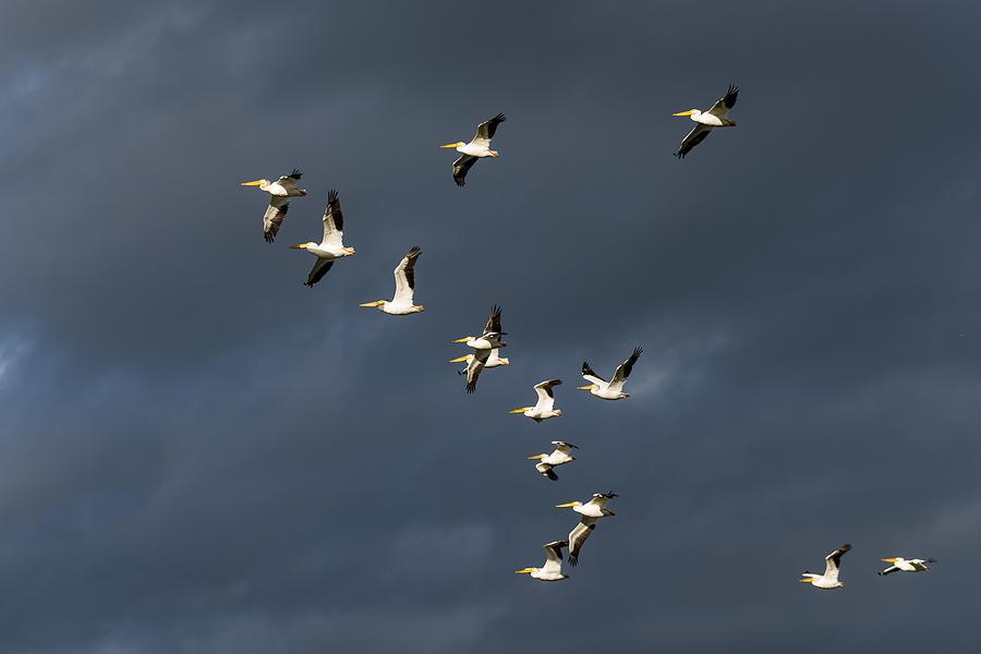 American White Pelican Photograph