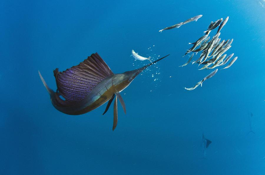 Atlantic Sailfish Istiophorus Albicans Photograph by Pete Oxford