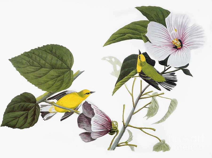 1827 Drawing - Blue-winged Yellow Warbler by John James Audubon
