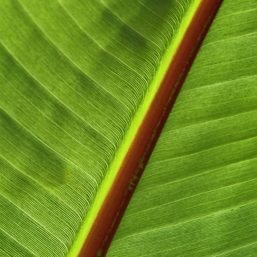 Leaf Photograph - Banana Leaf by Heiko Koehrer-Wagner