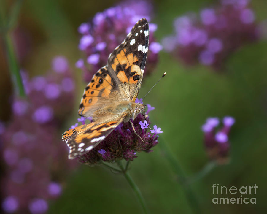Painted Lady Photograph - Bespeckled by Claudia Kuhn