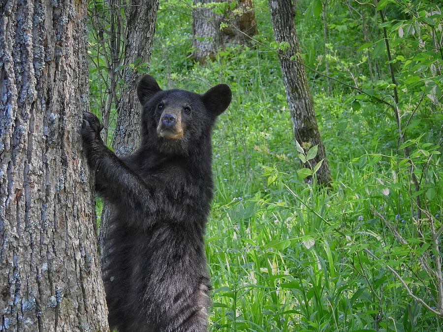 Black Bear Yearling Photograph by Rebecca Davis