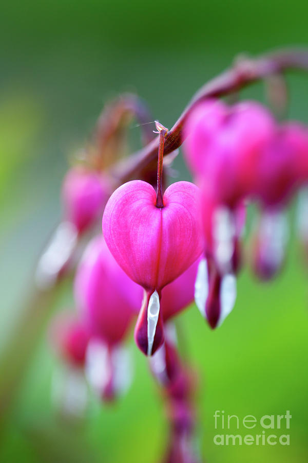 Nature Photograph - Bleeding Heart by Kati Finell