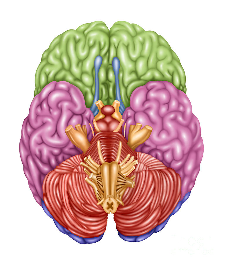 Color Coded Brain Anatomy Diagram Circuit Diagram Symbols