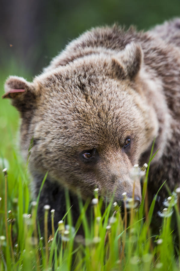 Alberta Photograph - Brown Bear by Brandon Smith