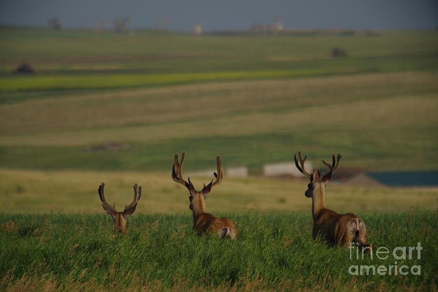 Dear Photograph - 3 Bucks Bounding Away by Jeff Swan