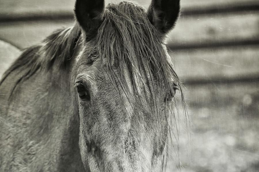 Quarter Photograph - Buckskin Black And White by JAMART Photography