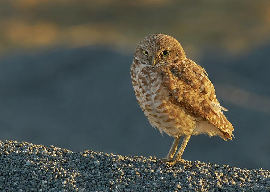 Birds Photograph - Burrowing Owl by Doug Herr
