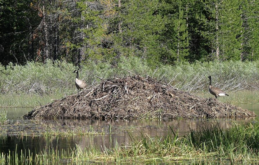 5c6e0dde82f Canada Geese On Beaver Lodge