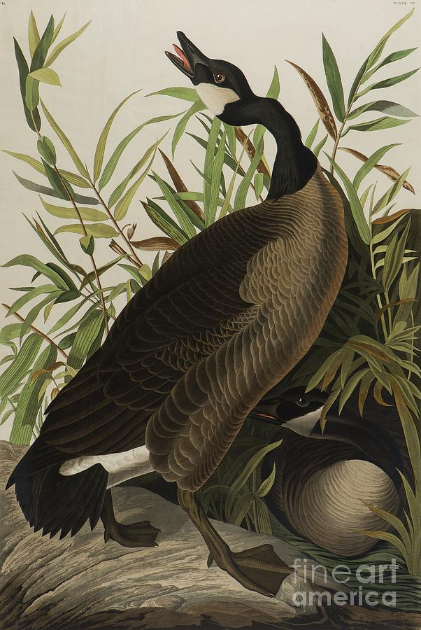 Audubon Painting - Canada Goose by John James Audubon