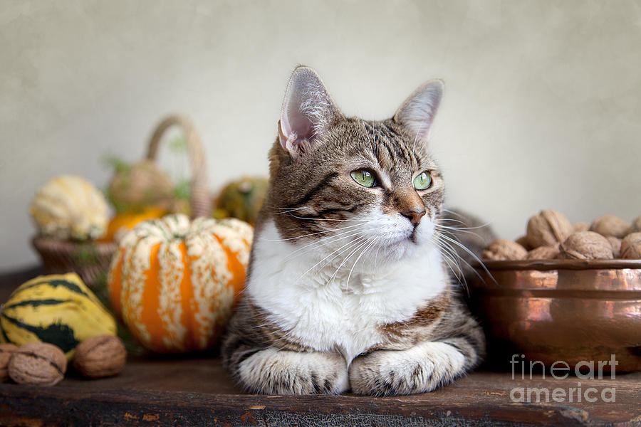 Cat And Pumpkins Photograph