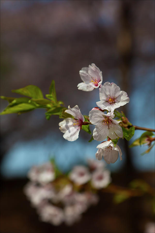 Cherry Blossoms Photograph - Cherry Trees by Robert Ullmann