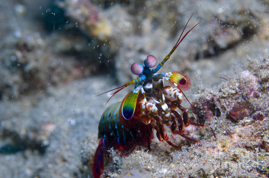Invertebrate Photograph - Close-up View Of A Mantis Shrimp, Papua by Steve Jones