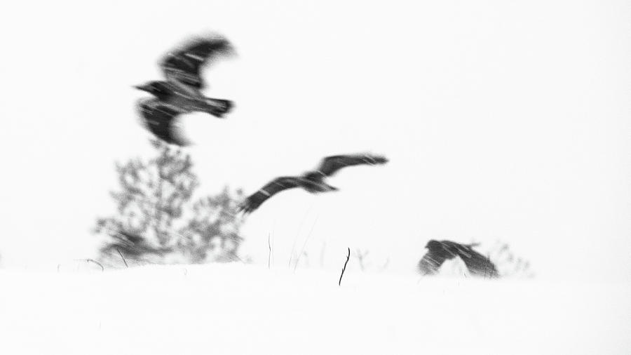 Crow Photograph - 3 Crows by Kolbein Svensson