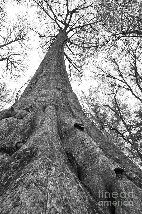 Cypress Tree Bald and Ancient by Wayne Nielsen
