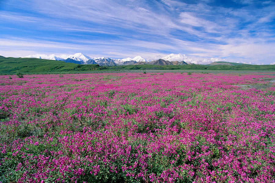 Bloom Photograph - Denali National Park by John Hyde - Printscapes