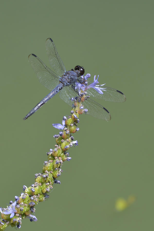 Dragon Fly Photograph - Dragon Fly by Linda Geiger
