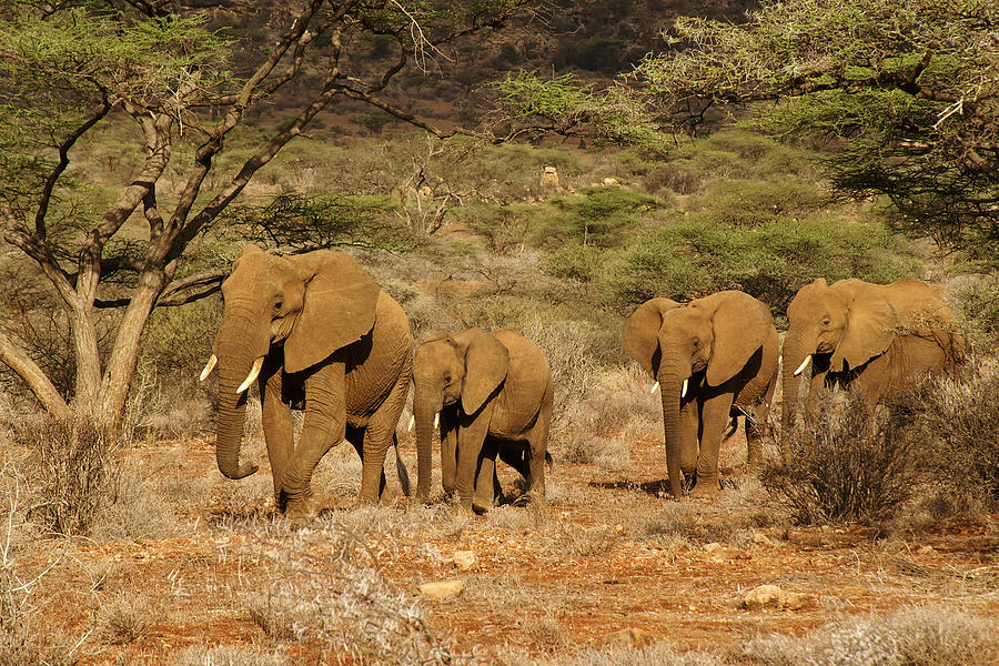 Africa Photograph - Elephant Parade by Michele Burgess