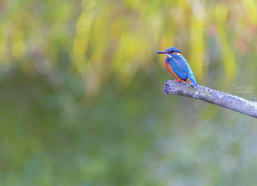 Eurasian, river or common kingfisher, alcedo atthis, Neuchatel,  by Elenarts - Elena Duvernay photo