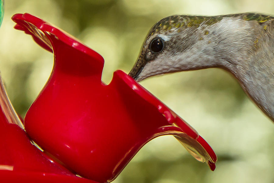 Throat Photograph - Female Ruby-throated Hummingbird by Robert L Jackson