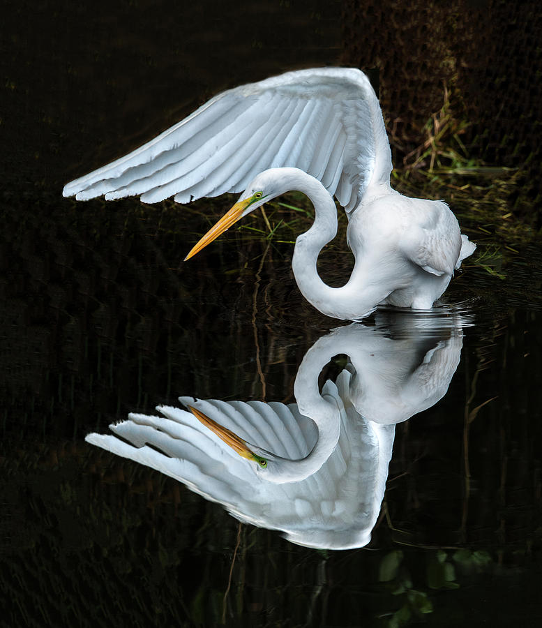 Great Egret Reflection by William Bitman