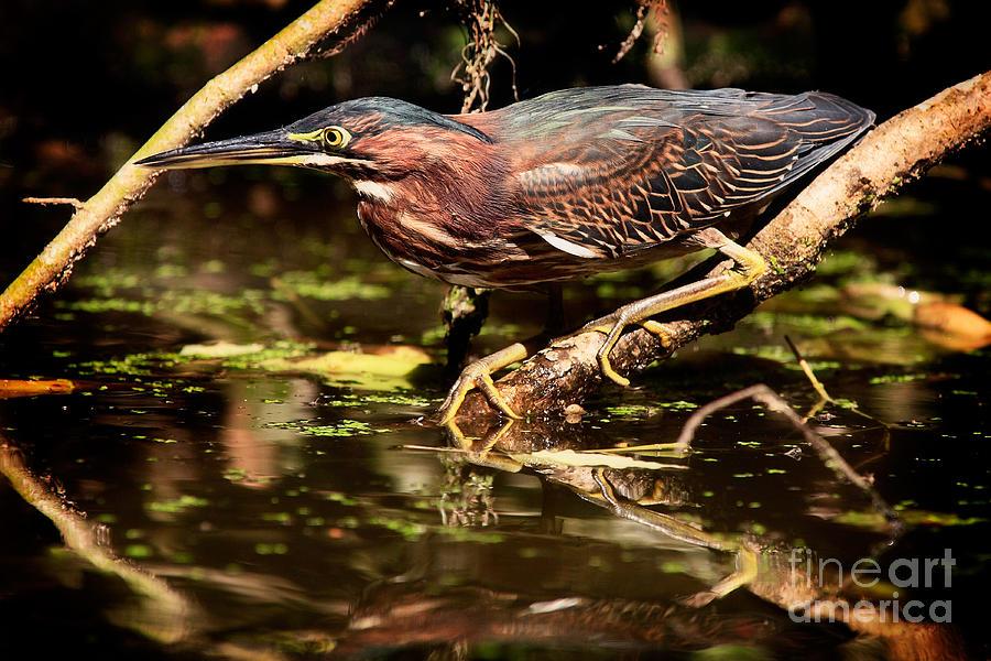 Green Heron Photograph - Green Heron by Matt Suess