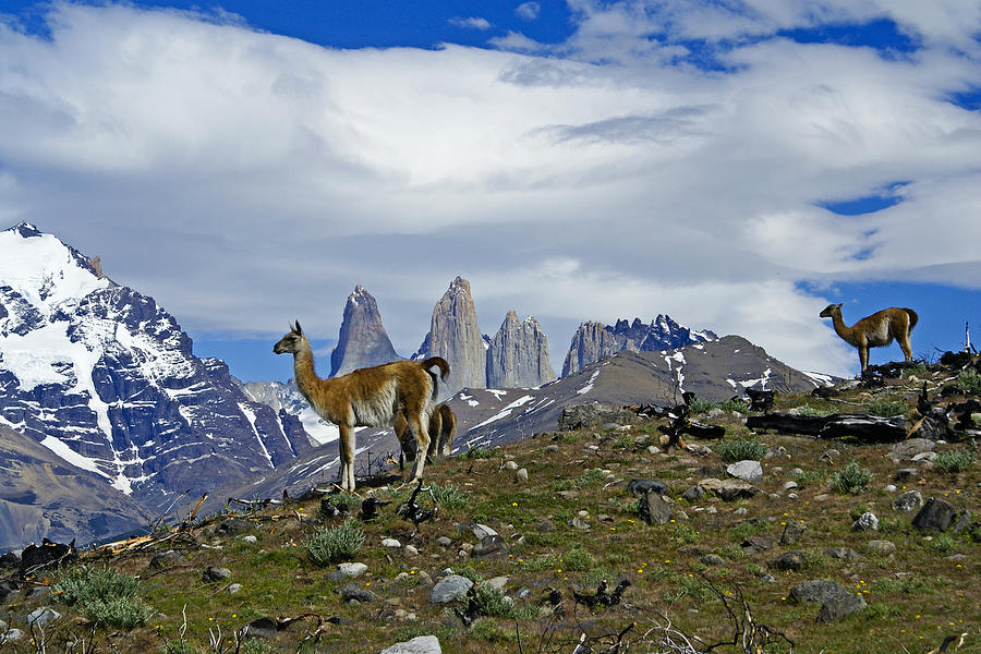 Patagonia Photograph - Guanacos In Torres Del Paine by Michele Burgess