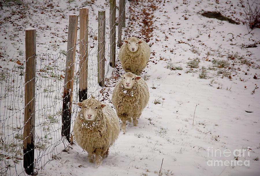 Sheep Photograph - 3 Happy Sheep by Diana Nault