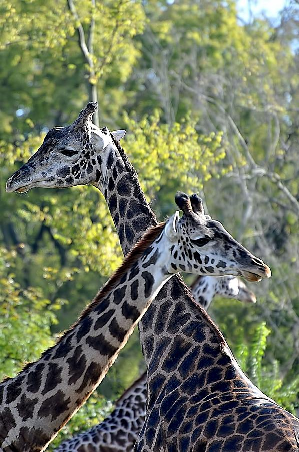 Animals Photograph - 3 Heads Are Better Than 1 by Jan Amiss Photography