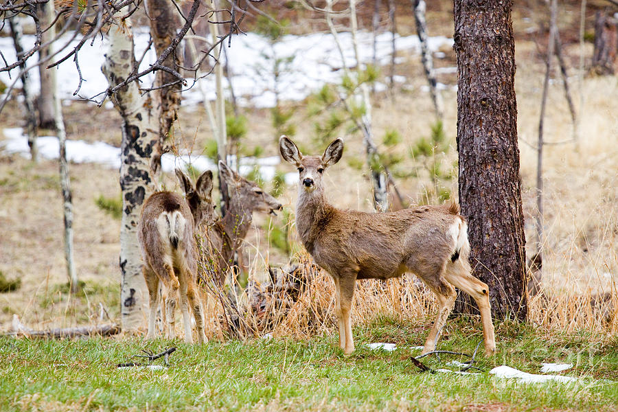 Herd Of Mule Deer In The Pike National Forest Photograph