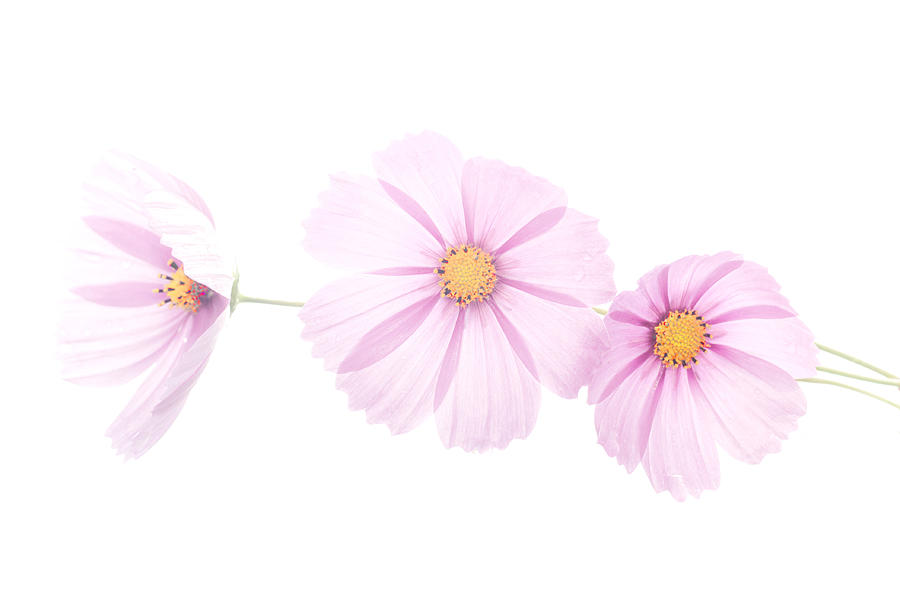 Cosmos Photograph - 3 High Key Pink Cosmos by Robert  Suits Jr
