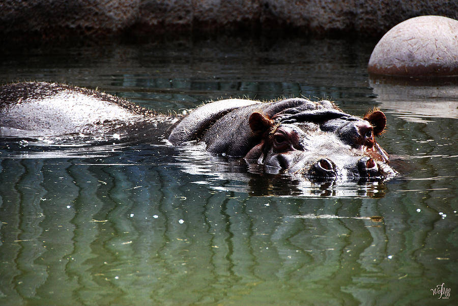 Hippopatamus Photograph - Hippo by Thea Wolff