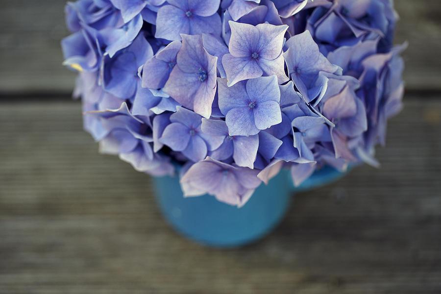 Hortensia Flowers Photograph