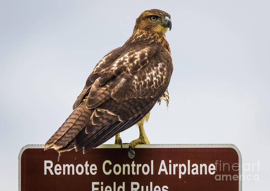 Canon Photograph - Juvenile Red-Tailed Hawk by Ricky L Jones