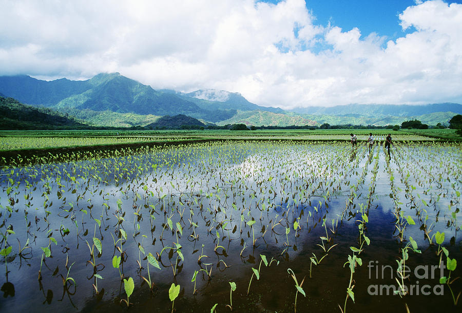 Afternoon Photograph - Kauai, Wet Taro Farm by Bob Abraham - Printscapes