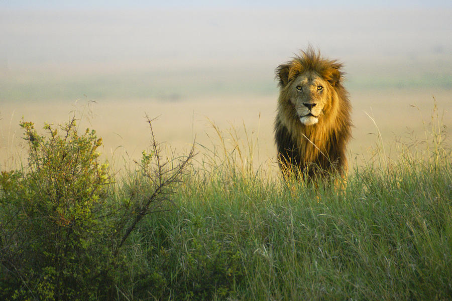 Lion Photograph - King Of The Savanna by Michele Burgess