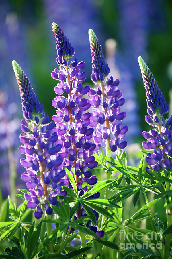 Blue Photograph - Lupine by Kati Finell
