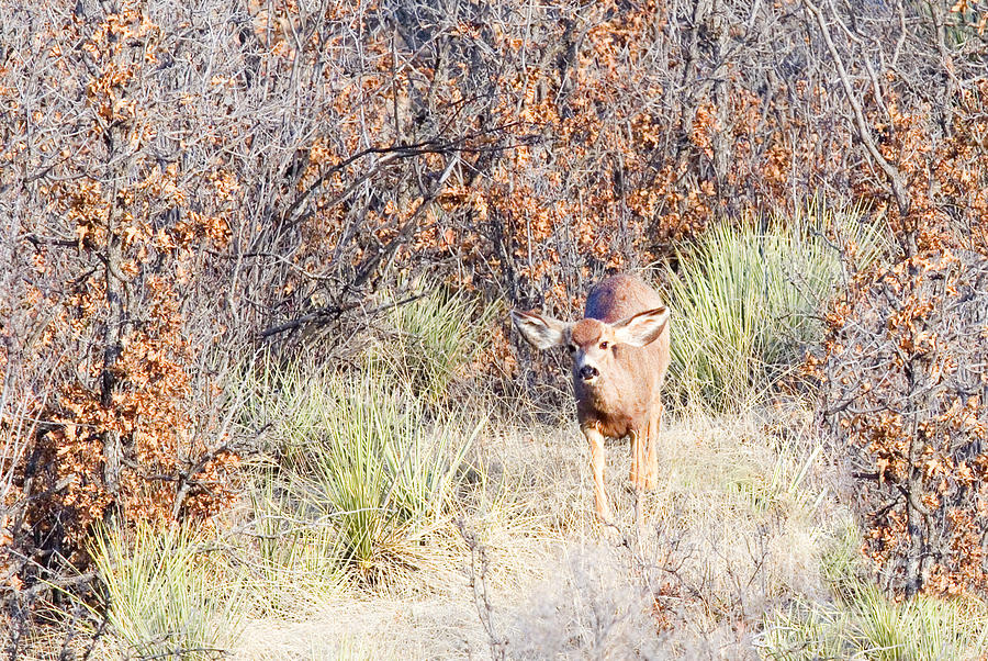 Animal Photograph - Mule Deer Doe by Steve Krull