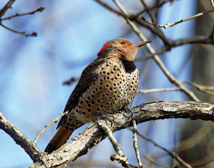 Northern Flicker Woodpecker by Robert L Jackson