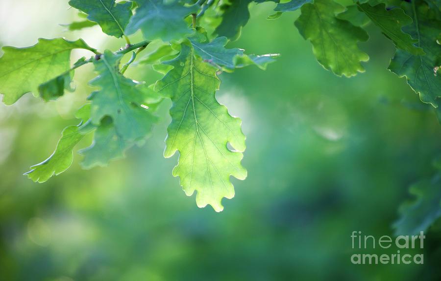Tree Photograph - Oak Branch by Kati Finell