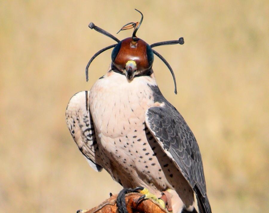 Paragon Falcon Photograph by Diane Barone