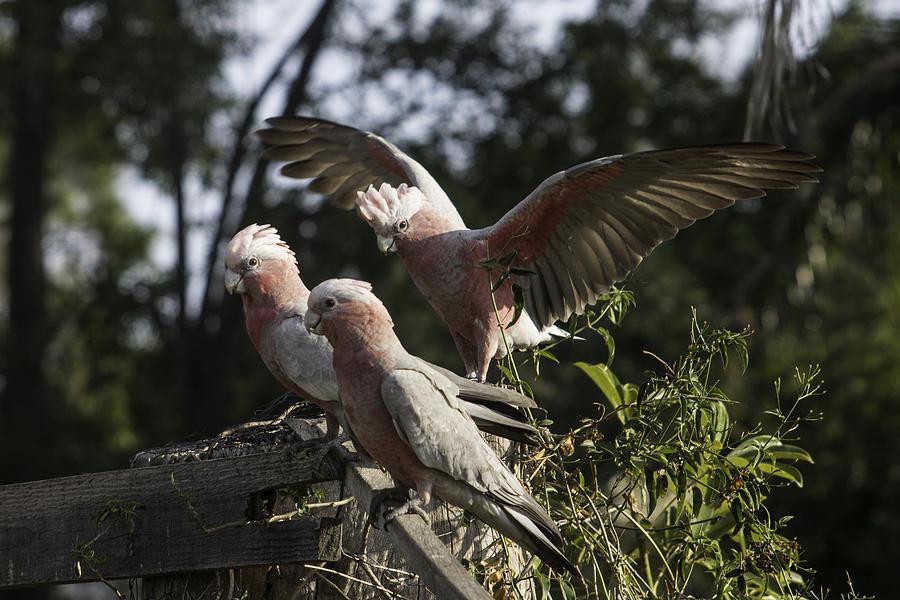 3 Parrots Photograph