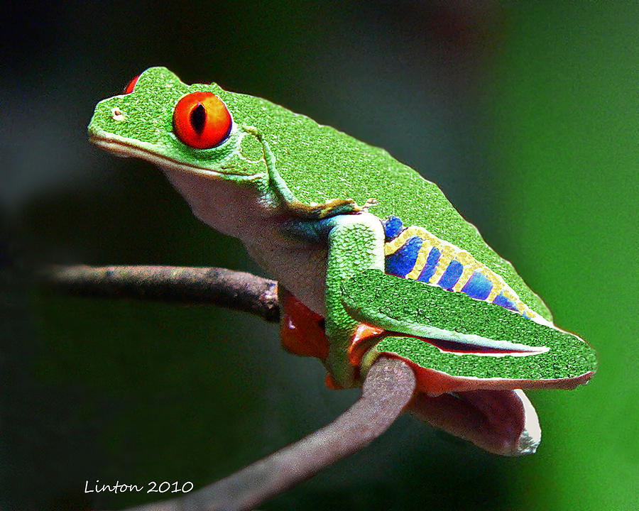 Leaf Frog Photograph - Red-eyed Leaf Frog by Larry Linton