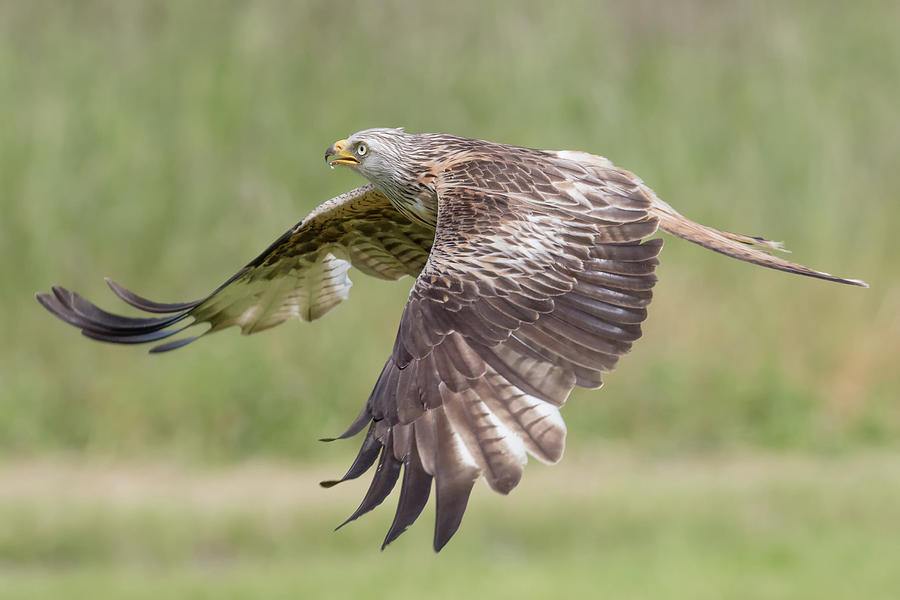 Red Photograph - Red Kite by Ian Hufton